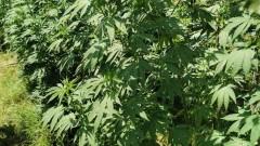 Разкриха плантация за марихуана и нарколаборатория в Арбанаси