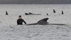 Най-малко 380 мъртви кита при засядане на брега в Австралия