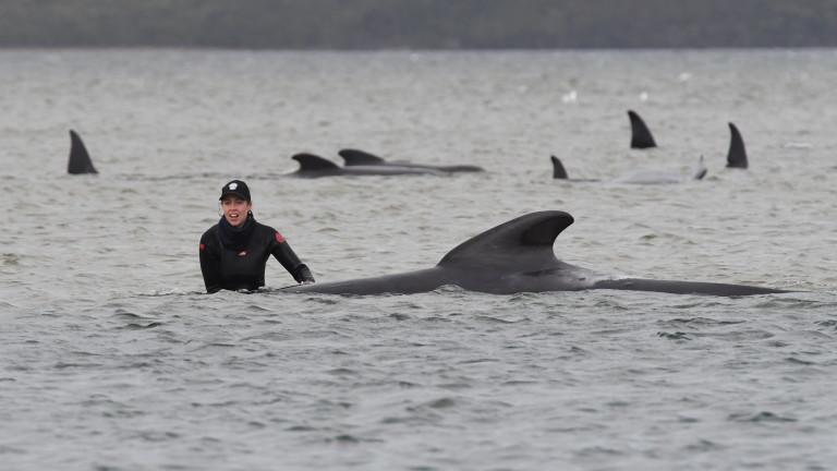 Най-малко 380 кита са загинали при масово засядане на брега