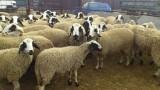 Нямало съмнения за чума по овцете в Благоевградско