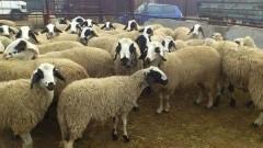 Публикуваха заповедта за евтаназирането на животните от второто огнище на чума