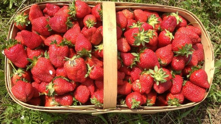 Продължава набирането ягодоберачки за Испания