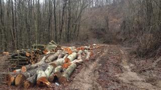 Бракониери изсекли 265 куб. м. дървесина край Говедарци