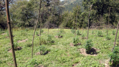 Над 7 тона канабис откриха по ниви в Благоевградско
