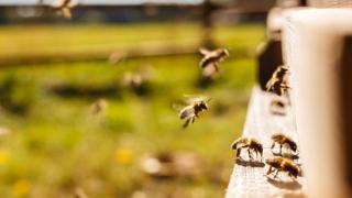Мечки разбиха пчелини в Хасковско