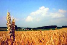 Пшеницата скочи от 165 лева за тон на 190 лева