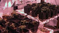 Сърбия на път да легализира марихуаната за медицински цели