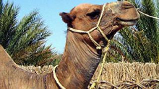 Драма на руско-украинската граница заради български камили