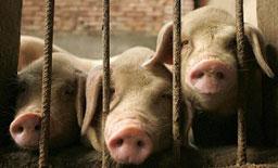 Блокират Е-79 заради свинекомплекс