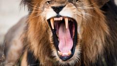 Какво става, ако решиш да погалиш лъв в дивото