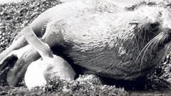 Тюлени изнасилват пингвини на остров в Индийския океан (ВИДЕО 14+)