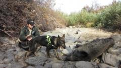 Прокурори разследват три сигнала за отровени диви животни в Крумовградско