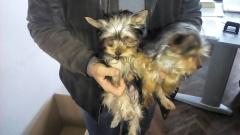 Спипаха крадци на породисти кучета в Бургас