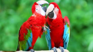 Диви папагали в Австралия се учат да говорят