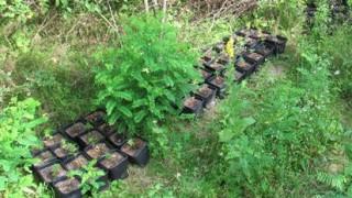 Задържаха концесионер на язовир с плантация за марихуана