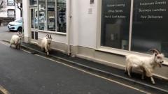 Диви кози превземат опразнени от коронавируса улици в Уелс