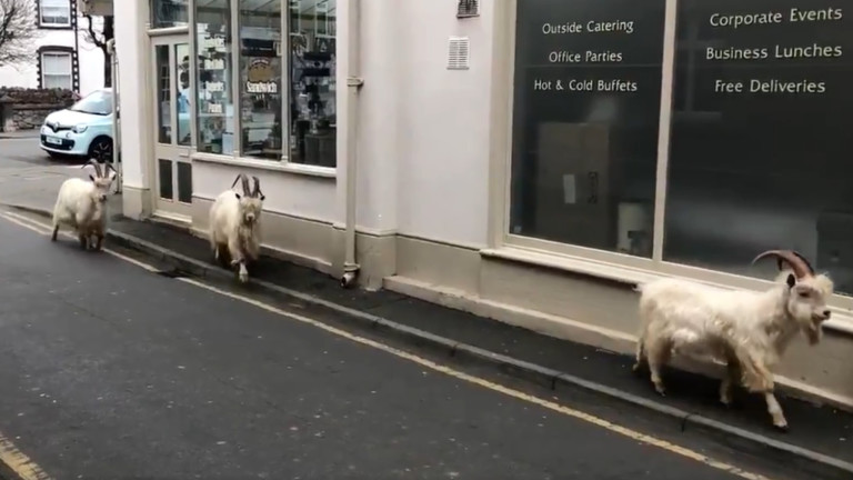 Стадо кози е превзело пуст градски център, ядейки живи плетове