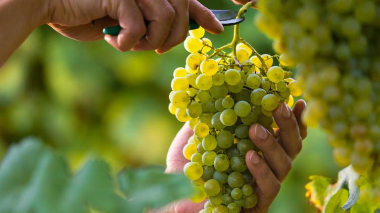 Каква ще бъде реколтата от грозде в някои от най-важните региони по света?