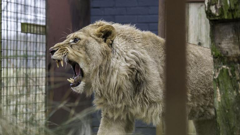 Откриха препариран лъв без документи в Разград