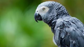 Папагалът, който прави стотици поръчки онлайн