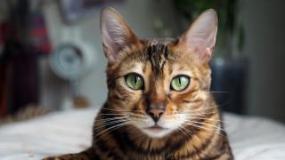 Най-скъпите котки в света за 2020 г.