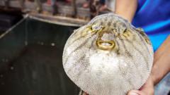 Извънредна ситуация в японски град заради риба фугу