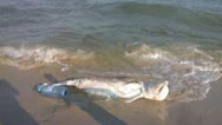 Морето изхвърли мъртъв делфин на бургаския плаж