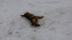 Отровиха над 30 кучета в Исперих