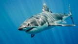 Акулите, ракът и защо тези животни не се разболяват от него