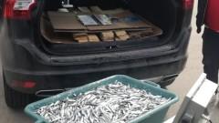 Иззеха 552 кг незаконно уловена цаца и хамсия