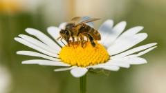 Как пестицидите увреждат мозъка на пчелите