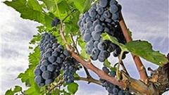 17 август – краен срок за винарите за кандидатстване към Еврофондовете
