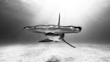 Акулите, дългокрила акула, раковинена акула чук, гигантска акула чук и драстичното намаляване на популацията