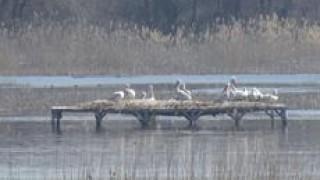 Очакват трето поколение къдроглави пеликани на Персин