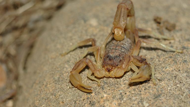 В Бразилия отчитат ръст на смъртните случаи, причинени от скорпиони,