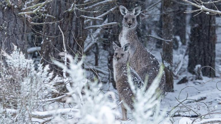 Сняг зарадва кенгура в Нов Южен Уелс, Австралия. Части от