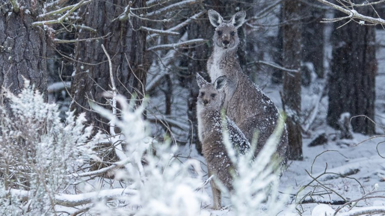 Сняг зарадва кенгура в Австралия