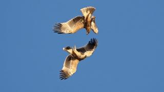 Даряваме на Испания два орела, спасени от контрабанда