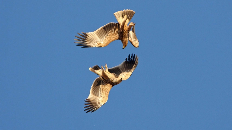 България ще дари два ястребови орела на Испания, съобщават от