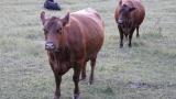 Още две стада с нодуларен дерматит в Старозагорско