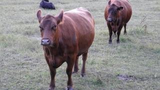Фермери се опасяват, че от Серес отново идва нодуларен дерматит