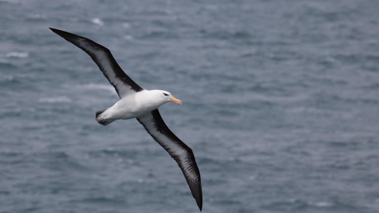 Албатроси полицаи може скоро да полетят в небето над субантарктични