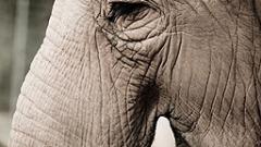 В Германия циркова слоница уби пенсионер