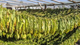 Тютюнопроизводителите също искат помощи заради кризата с COVID-19
