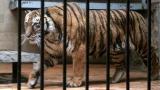 Жена скочи в клетка на тигър (ВИДЕО)