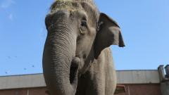 Слоницата Артайда със специална торта за рождения си ден в столичния зоопарк