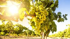 За производителите на грозде мярка за бране на зелено
