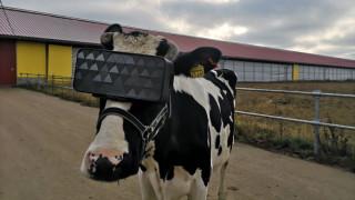 В Русия сложиха VR очила на крави