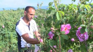 Розопроизводителите се оплакват от ниски изкупни цени