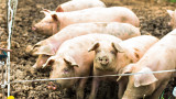 Откриха 170 кг заразено с африканска чума месо в багажник